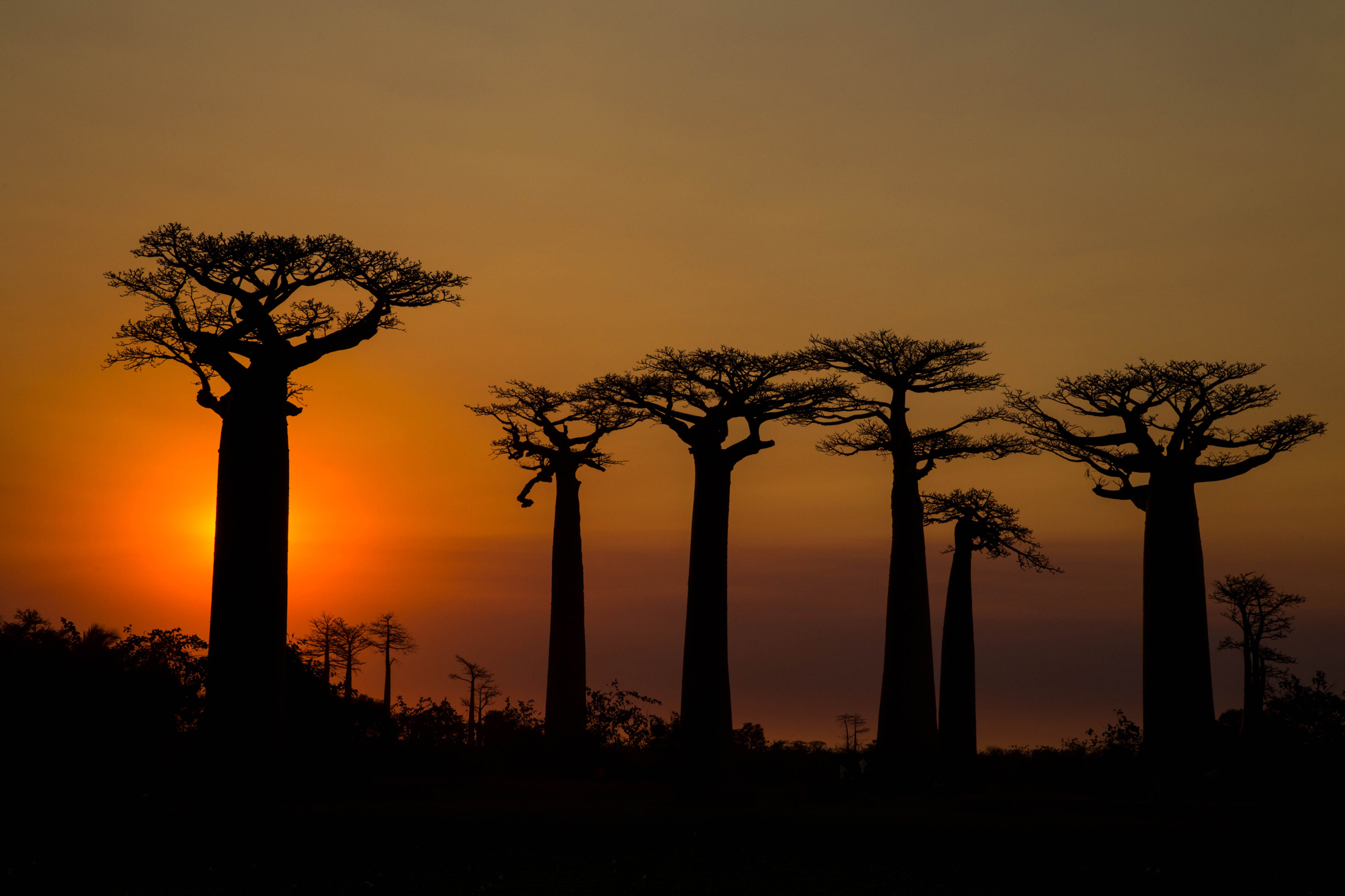 Baobab trees in Madagascar - by Paul Lester