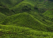Tea plantations in the Cameron Highlands, Malaysia - by Shahzeb Ihsan