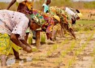 Women in the rice fields, Gambia - by Sheena